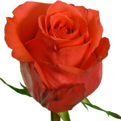 Rockstar Orange Rose
