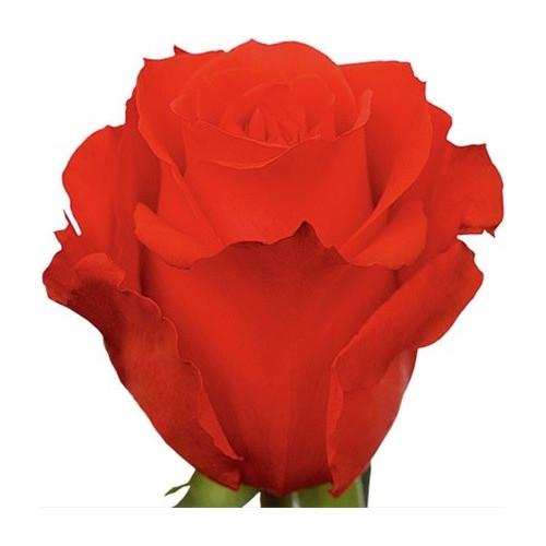 Star 2000 Orange Rose