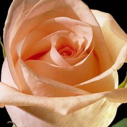 Engagement Peach Roses