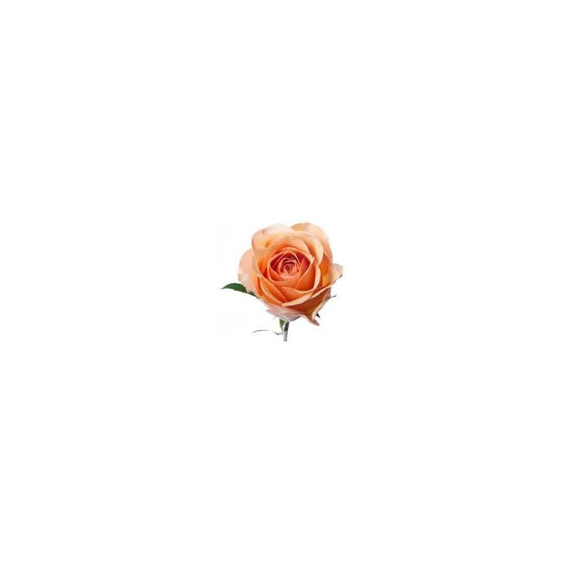 Sunmaster Peach Roses