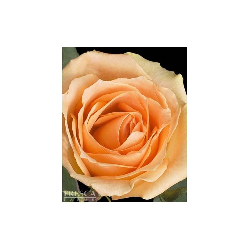 Versilia Peach Roses