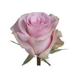 Jessika Pink Rose