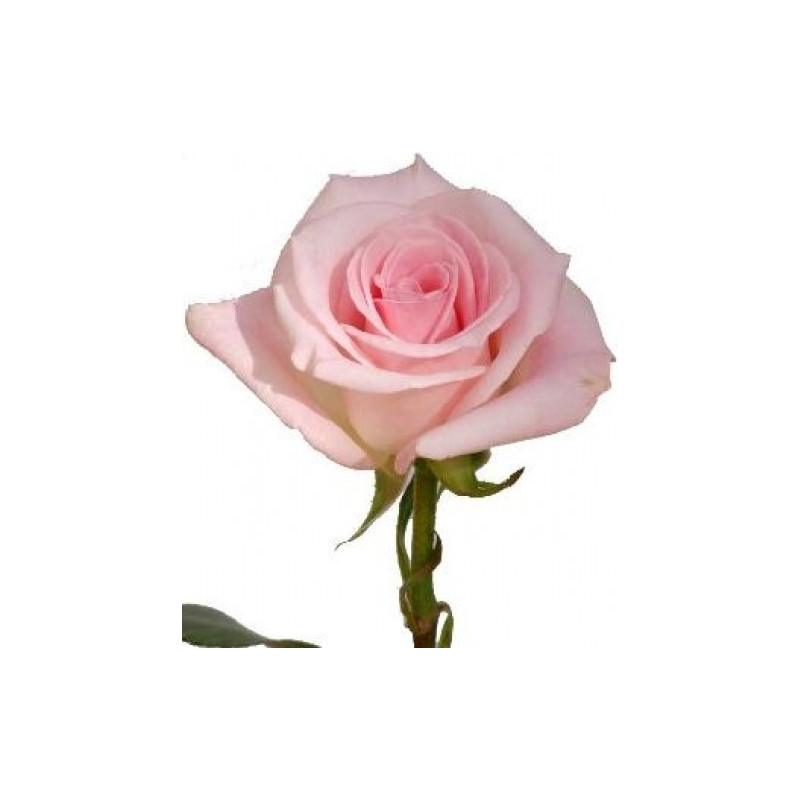 Light Orlando Pink Rose