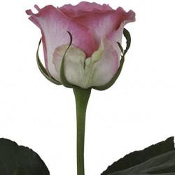 Malibu Pink Rose