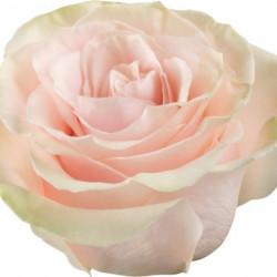 Pink Mondial Pink Rose