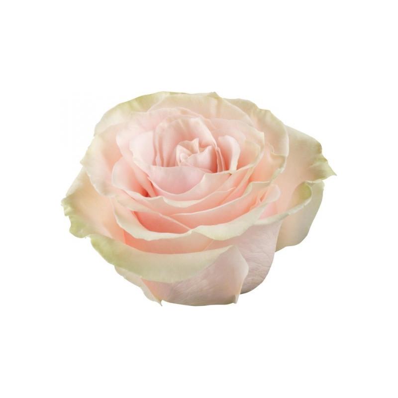 Mondial Pink Rose