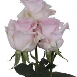 Nena Pink Rose