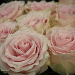 Remembrance Pink Rose
