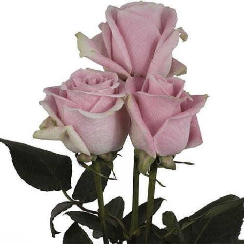 Rosita Vendella Pink Rose