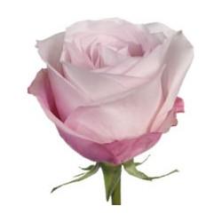 Secret Garden Pink Rose