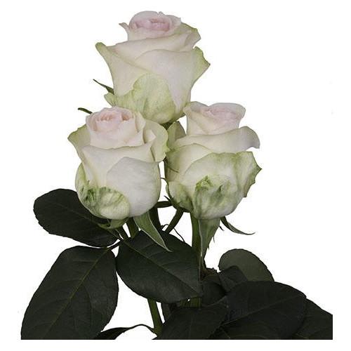 Senorita Pink Rose