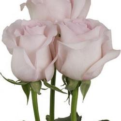 Sweet Akito Pink Rose