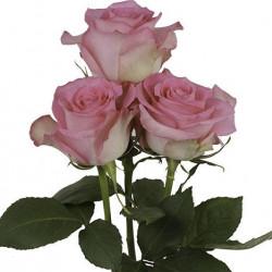 Sweet Unique Pink Rose