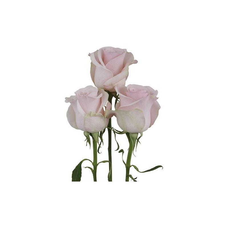 Titanic Pink Rose
