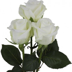 Akito White Rose