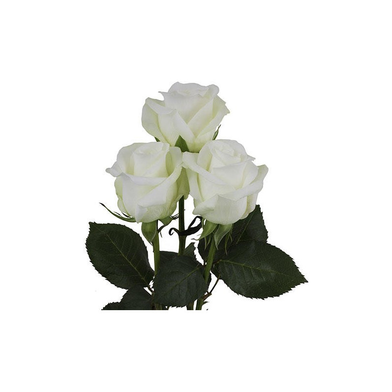 Akito White Rose