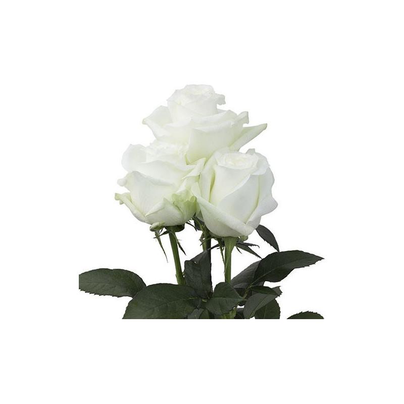 Proud White Rose