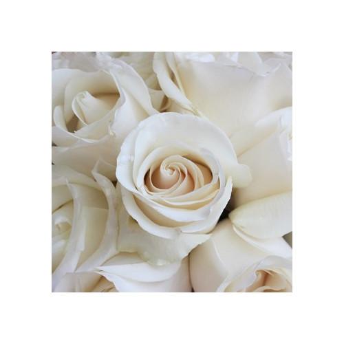 Amelia White Rose
