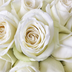 High and Pure White Rose