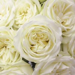 Polo White Rose