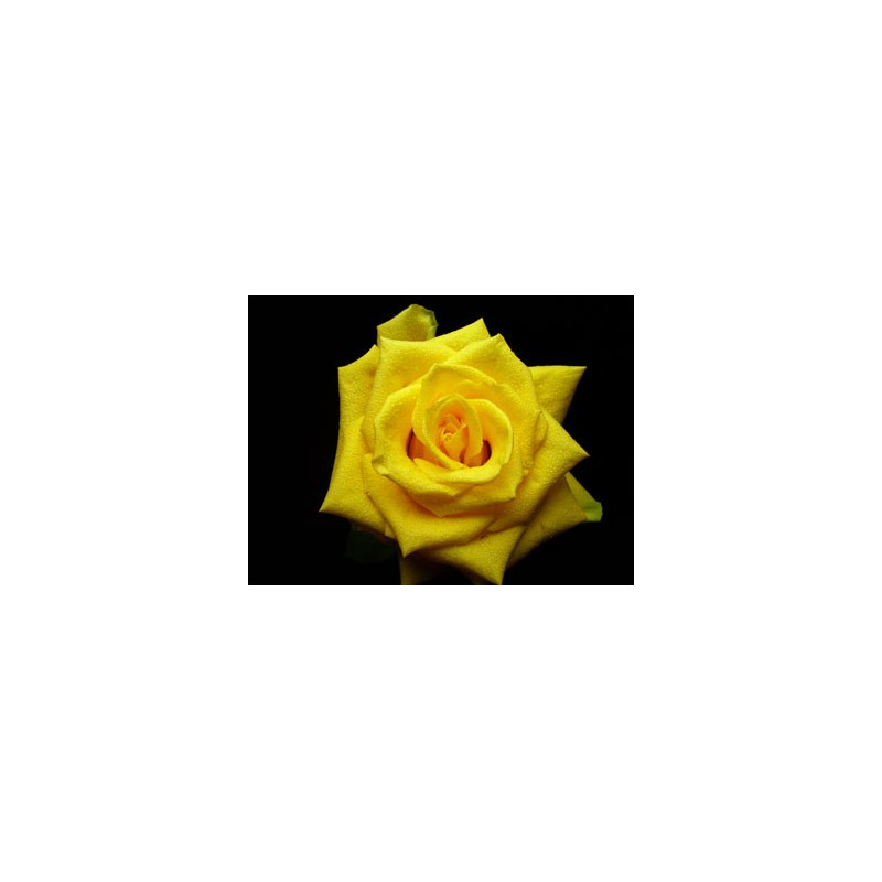 Coral Yellow Rose
