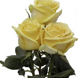 Hummer Yellow Rose