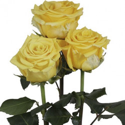 Sonrisa Yellow Rose