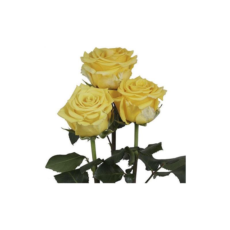 Sonrisa Yellow Rose