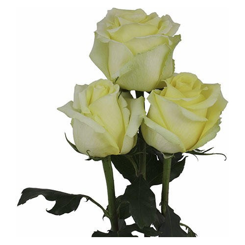 Tara Yellow Rose