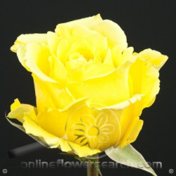 Storm Yellow Rose