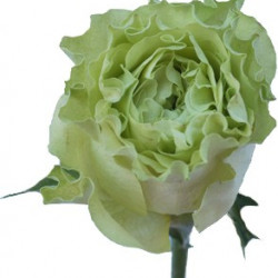 Garden Rose Super Green 100 Stems
