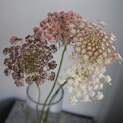 "Queen Anns Lace ""Chocolate"""