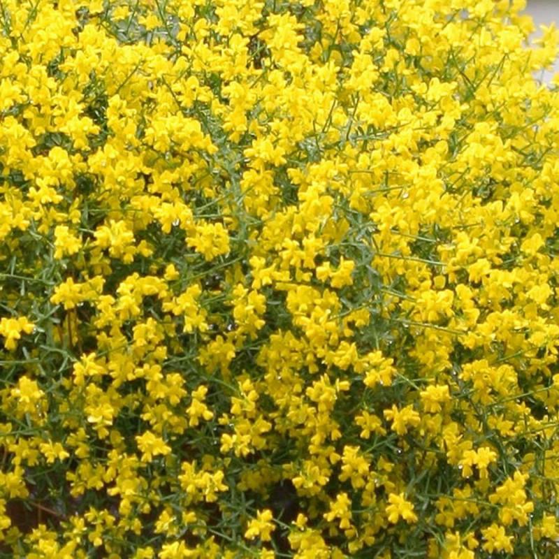 Genistra wild yellow florasource genistra wild yellow mightylinksfo