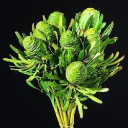 Pods Leucadendron Green