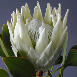 Queen Protea White