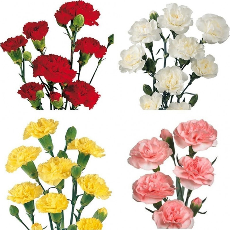 Mini Carnations Spring Pack 15 Bunches