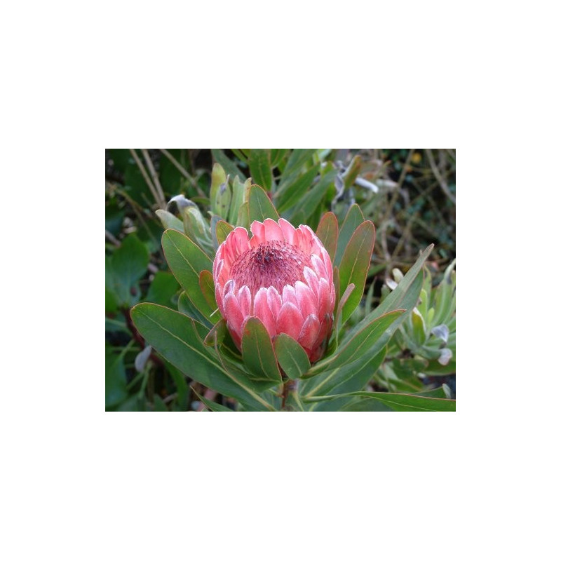Protea Pink Ice 25 Stems