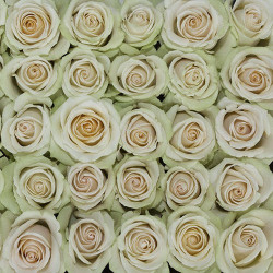 High and Arena Cream  Roses