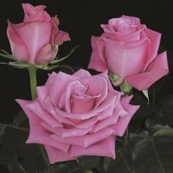 Gotcha Pink Rose