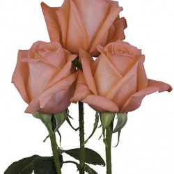 Movie Star Coral  Roses