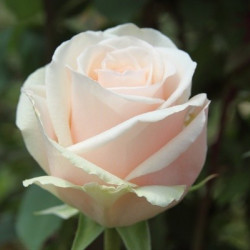 Emely Pink Rose