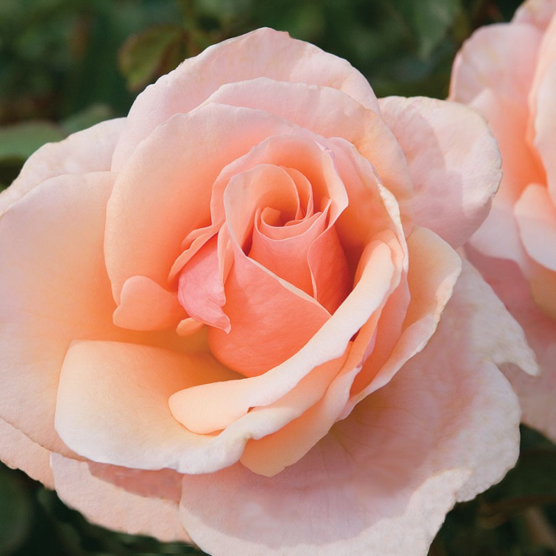 Mother of Pearl Peach Rose