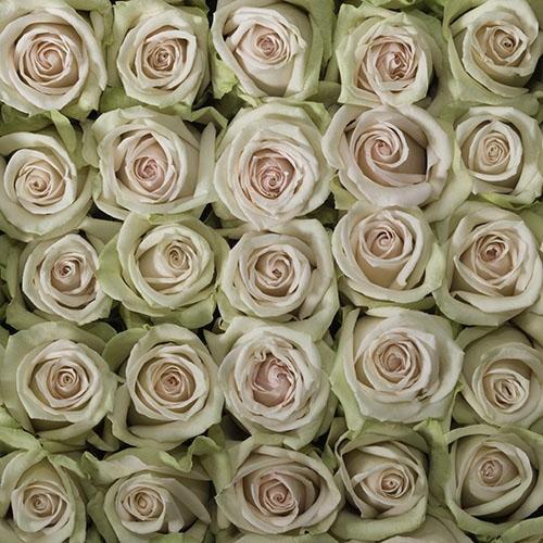 La Perla Peach Rose