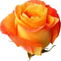 Voodoo Orange Rose