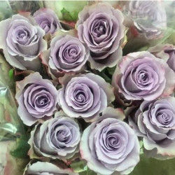 Grey Knight Lavender Rose