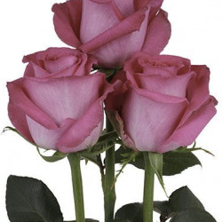Topaz Hot Pink Rose