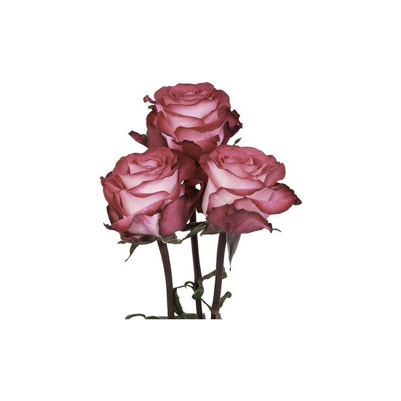 Riveria Hot  Pink Rose