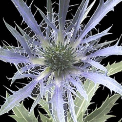 Eryngium Dark Blue By the Box 12 bunches