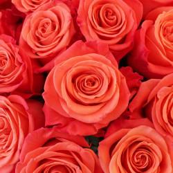 Orange Crush Orange Rose