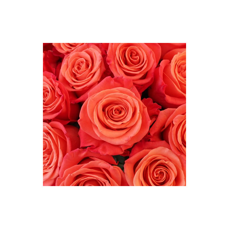 Orange Crush Orange Rose